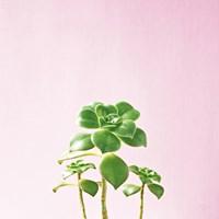 Succulent Simplicity IX on Pink Fine-Art Print