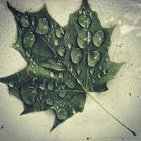 Maple Drops Fine-Art Print