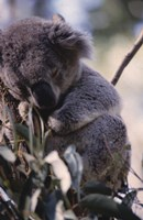 Koala Fine-Art Print