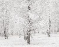 Snow Covered Cottonwood Trees Fine-Art Print