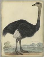 The Ostrich Fine-Art Print
