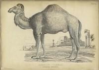 Camel Bactarnian Fine-Art Print