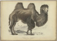 Camel Dromedary Fine-Art Print