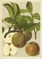 Russet Apples I Fine-Art Print