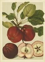 Red Veli Apples II Fine-Art Print