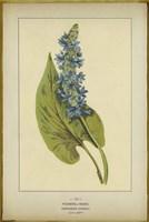 Pickerel Weed Fine-Art Print