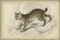 Felis Canadenis Lynx Fine-Art Print