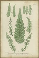 Polystichum Fine-Art Print