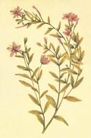 Broad Leaved Fireweed Fine-Art Print