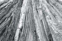 Redwoods Forest IV BW Fine-Art Print