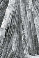 Redwoods Forest III BW Fine-Art Print