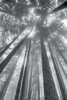 Fir Trees II BW Fine-Art Print