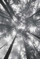 Fir Trees I BW Fine-Art Print