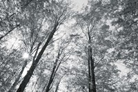 Autumn Forest III BW Fine-Art Print