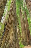 Redwoods Forest III Fine-Art Print