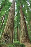 Redwoods Forest I Fine-Art Print