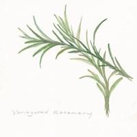 Variegated Rosemary II Fine-Art Print