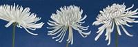 Morning Chrysanthemums V Indigo Fine-Art Print