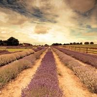 Lavender Fields Forever Fine-Art Print