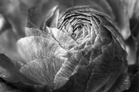Ranunculus Abstract V BW Fine-Art Print