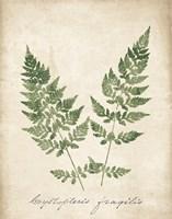 Vintage Ferns VII no Border Fine-Art Print