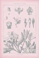Rose Quartz Rhododendron Fine-Art Print