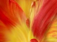 Tulipa Fine-Art Print