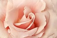 Rosa Fine-Art Print