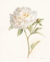 Garden Peony Fine-Art Print