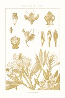 Golden Rhododendron on White Fine-Art Print
