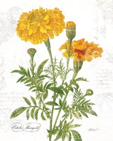 October Marigold on White Fine-Art Print