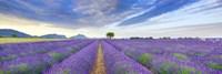Lavender Field, France Fine-Art Print