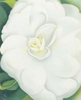 White Camelia Fine-Art Print