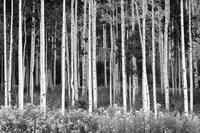 Colorado Aspen BW Fine-Art Print