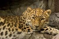 Denver Zoo Snow Leopard Fine-Art Print