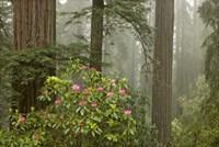 Redwood Fog Rhododendrons Fine-Art Print