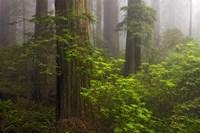 Redwoods Fog Fine-Art Print