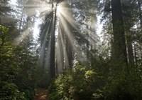 Redwoods NP Ladybird Johnson Lightbeam Fine-Art Print