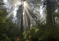 Redwoods NP Ladybird Johnson Lightbeam Fine-Art Print