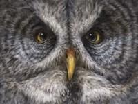 Great Grey Owl Totem Fine-Art Print