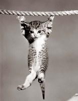 1950s Little Kitten Hanging From Rope Fine-Art Print