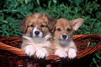 Two Welsh Corgi Puppies In Basket Fine-Art Print