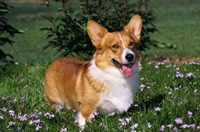 Welsh Pembroke Corgi Sitting In Grass Fine-Art Print