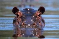 Hippopotamus Amphibius Peering Out From Water Fine-Art Print