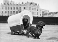 1930s Two Dachshund Dogs Fine-Art Print
