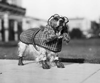 1930s Cocker Spaniel Wearing Glasses Fine-Art Print