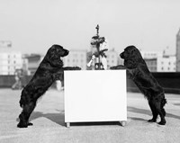 1930s Two Black Cocker Spaniels Standing Fine-Art Print