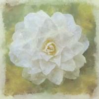 Camelia White Fine-Art Print