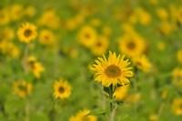 Sunflower Field Fine-Art Print