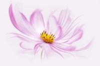 Dancing Flower Cosmos Fine-Art Print